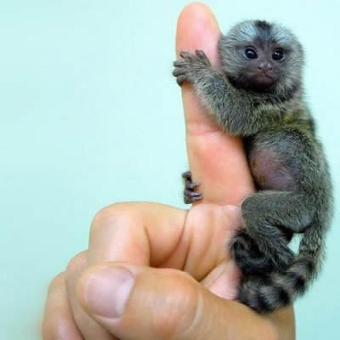 ADORABIL! Aceasta este cea mai mică maimuţă din lume