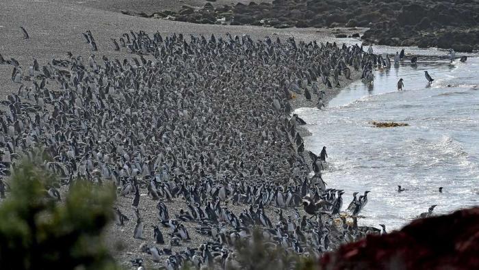 VIDEO Ai văzut vreodată UN MILION de pinguini strânşi la un loc? Record mondial stabilit în Argentina