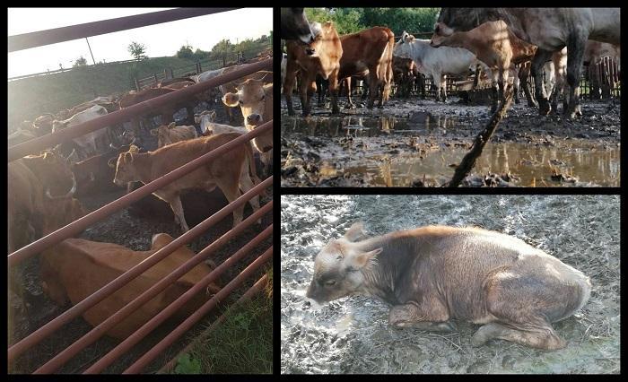 Primarul din Pardina, Tulcea, a confiscat 100 de vite ale sătenilor şi le ţine nemâncate şi fără apă de 5 zile, pentru că au intrat în lanul de porumb al surorii lui