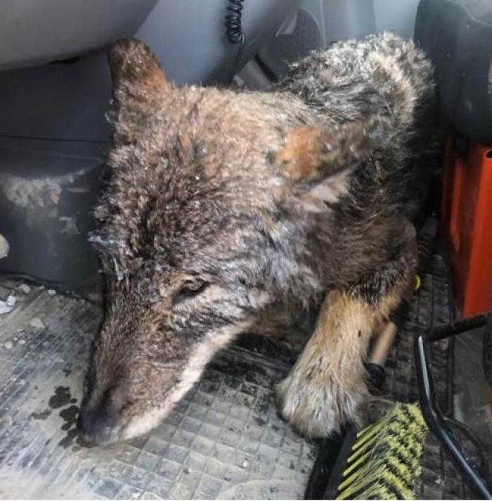 Câine salvat dintr-un râu îngheţat din Estonia, dus la veterinar unde s-a aflat că este lup