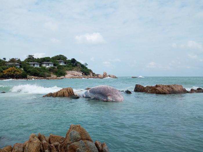 Balenă uriaşă, descoperită moartă pe o plajă din Thailanda. Pentru ridicarea sa a fost nevoie de un buldoexcavator