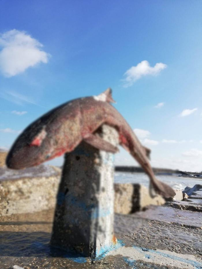 Imagini înfiorătoare surprinse în Mamaia. Cadavrul unui rechin a apărut pe digul de la intrare în staţiune