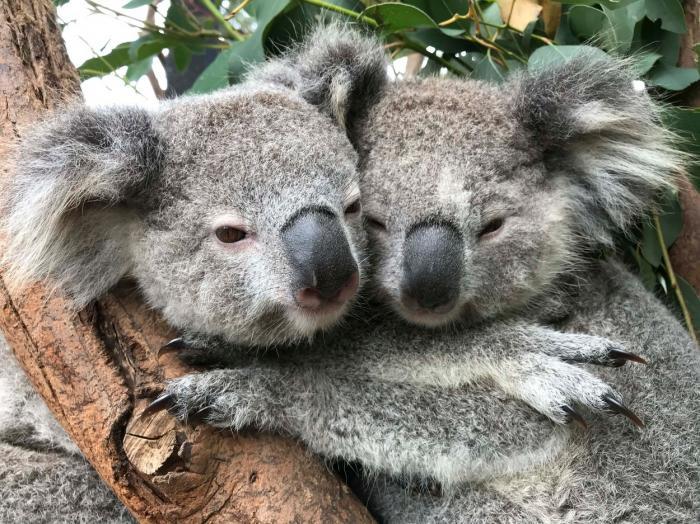 Imagini adorabile cu doi koala care se îmbrățișează