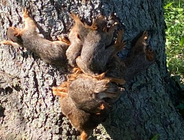 7 pui de veveriţă, găsiți cu cozile înnodate la baza unui copac. Misiune inedită pentru polițiștii din SUA