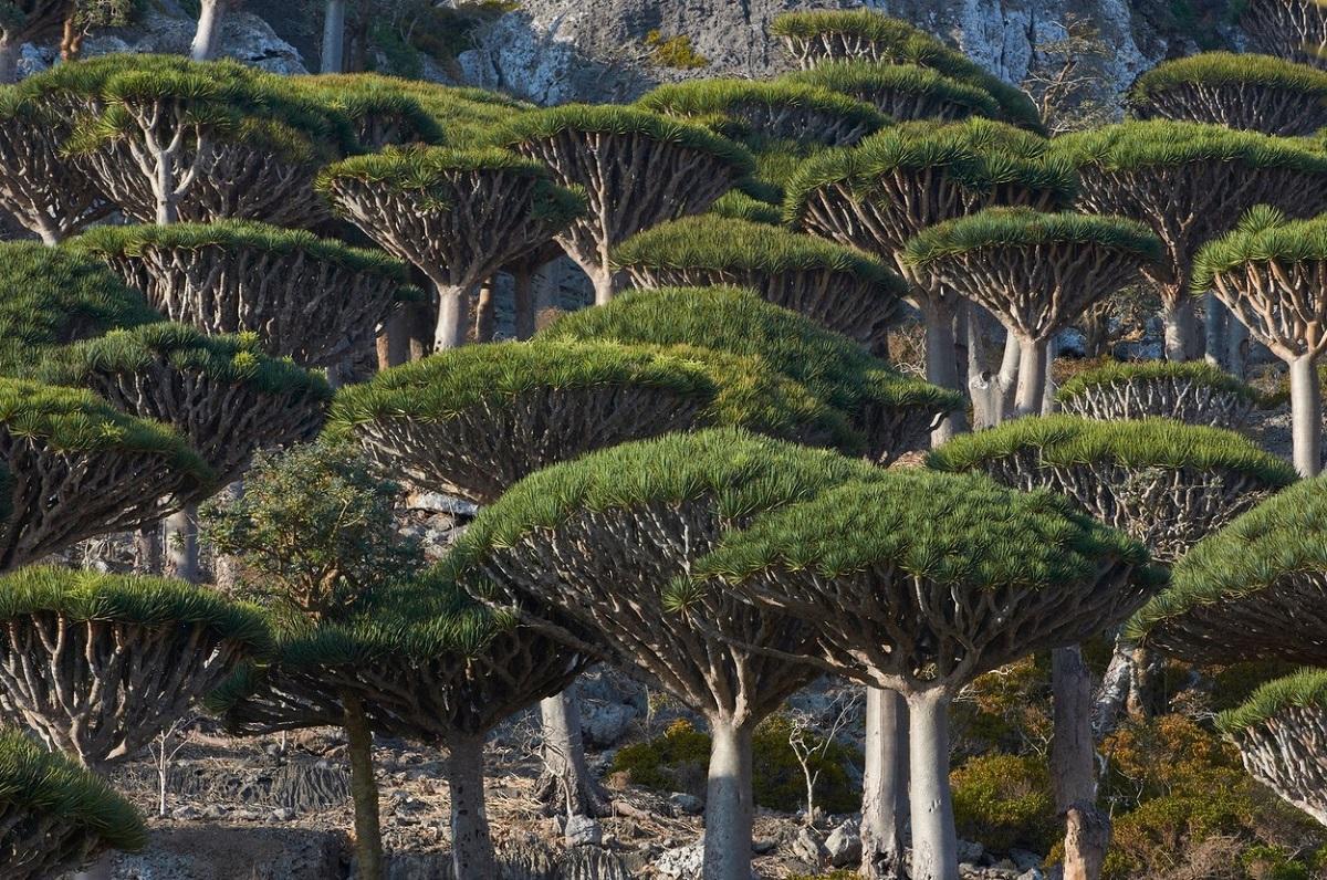 Arborele este original din arhipelagul Socotra