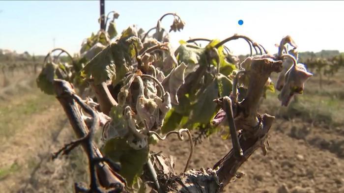 Pandemia de coronavirus a dus la o reducere a vânzării de sticle de vin