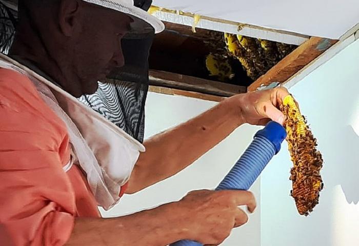Mii de albine au fost îndepărtate din tavanul unei case, în Australia. Proprietarul a vrut să se asigure că sunt relocate în siguranţă