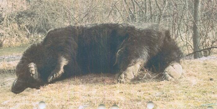 """Arthur, cel mai mare urs din România, ucis de un prinț austriac pentru 7000 de euro. Apel pentru interzicerea vânătorii """"de trofee"""""""