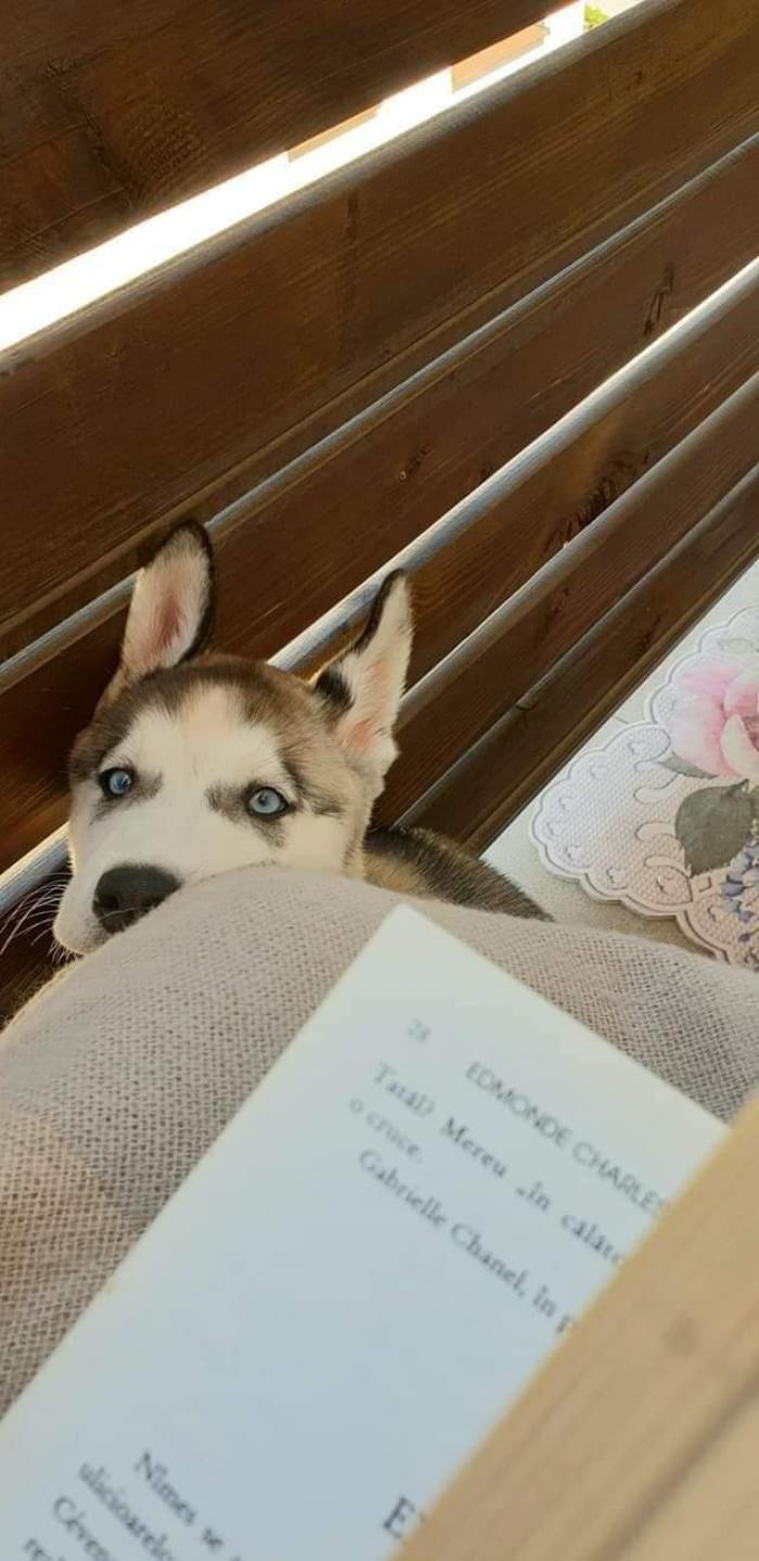 """Apelul disperat pentru găsirea unui husky a avut succes: """"Maya pentru noi este precum un copil"""""""