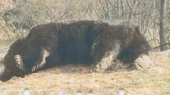 Ursul Arthur era cel mai mare exemplar din România