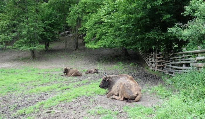 Romică s-a făcut mare! Cel mai simpatic zimbru de la rezervaţia de la Haţeg a făcut un an