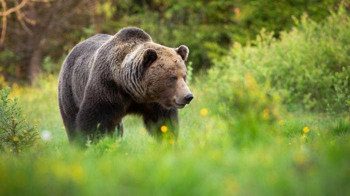 Bărbat rănit grav de urs, în Harghita. E al doilea atac în județ în ultimele zile