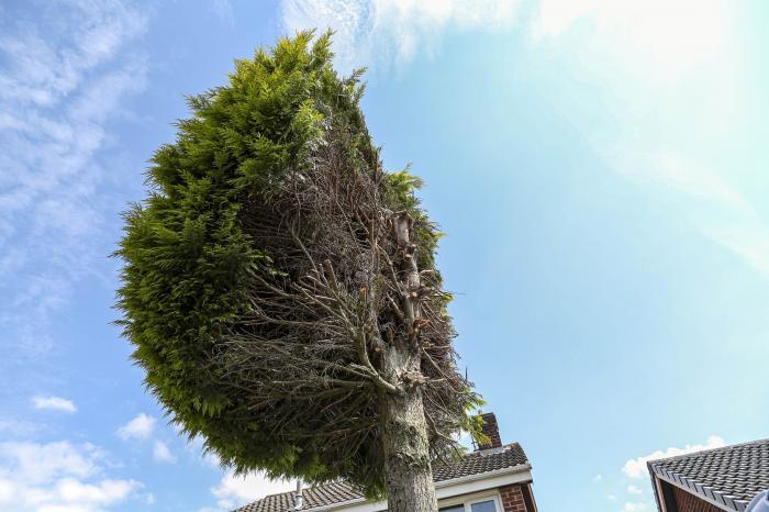 Copacul, tăiat pe jumătate, a devenit un punct de atracție