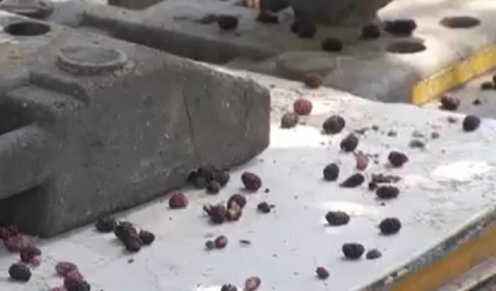 Dudele i-au adus sfârşitul. Un giurgiuvean a căzut în fosa septică a unei primării în timp ce încerca să culeagă fructele