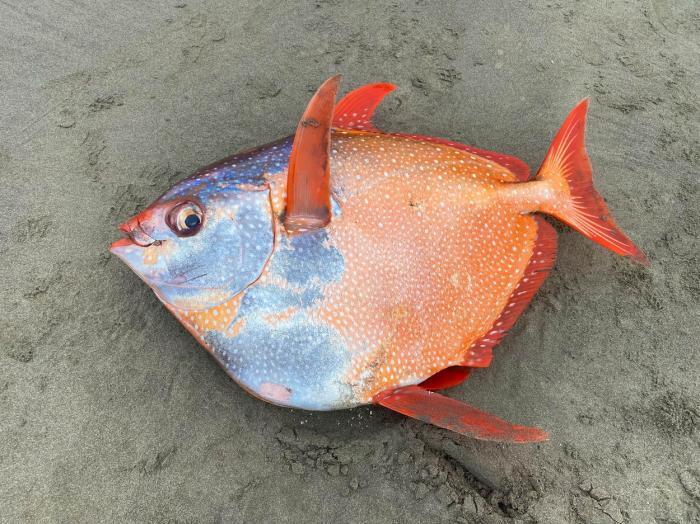"""Peştele Opah este cunoscut şi sub numele de """"peştele lună"""""""