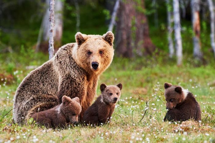 O mamă urs alături de puii ei