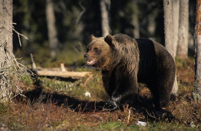 Statul trebuie să plătească 15.000 de euro unui român atacat de urs