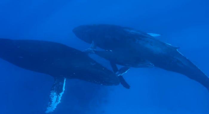 Balenele albastre au revenit în Oceanul Atlantic după mai bine de 40 de ani. Care ar fi posibila explicaţie - VIDEO