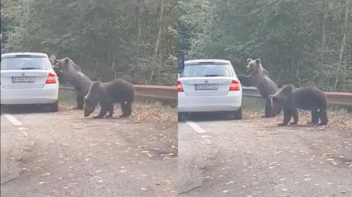 Un turist a vrut să fotografieze urşii de pe marginea drumului, pe Transfăgărăşan. Unul dintre animale a sărit pe portiera maşinii - VIDEO