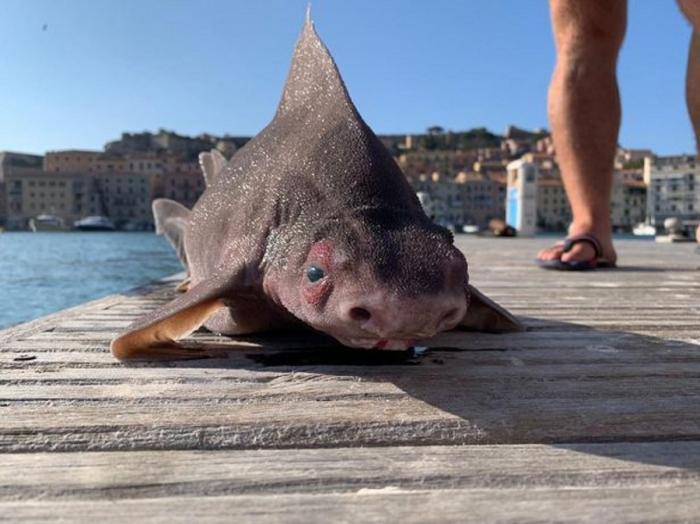 Corp de rechin şi capul asemănător cu al unui porc
