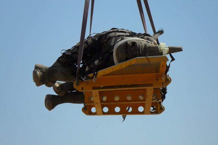 Rinocer transportat cu capul în jos, cu ajutorul unui elicopter