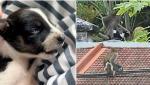 Un câine a fost la un pas să moară de foame după ce a fost răpit şi ţinut ostatic de o maimuţă, timp de trei zile, în Malaezia