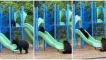 VIDEO | Imagini virale filmate pe terenul unei şcoli din Carolina de Nord. O ursoaică îşi învaţă puiul să folosească toboganul