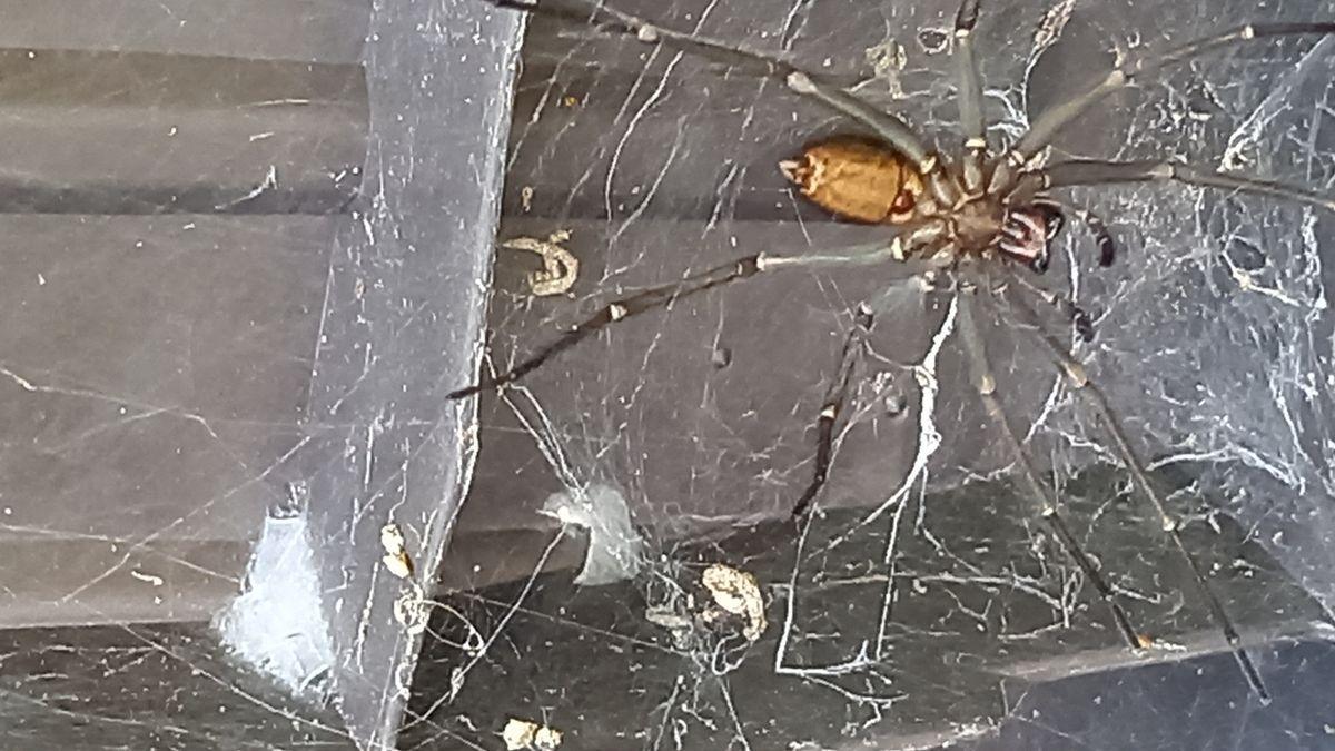 Păianjen uriaş, descoperit de un englez în curtea sa. Ar putea fi extrem de veninos, chiar letal