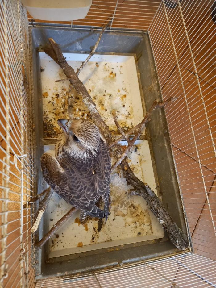 Un uliu de vânătoare, extrem de valoros, a zburat din Slovacia până în România