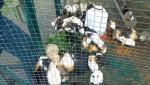 Porcuşori de Guineea, cu răni şi flămânzi, s-au îmbulzit pe câteva fire de iarbă, la Parcul Vânători Neamț. Îngrijitorii le dădeau grăunţe, deşi sunt erbivori