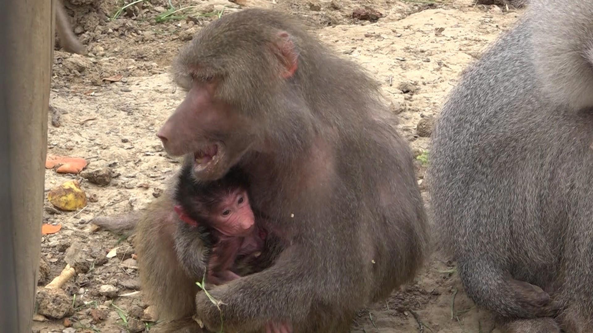 Un pui de babuin a devenit vedeta Grădinii Zoologice din Hunedoara