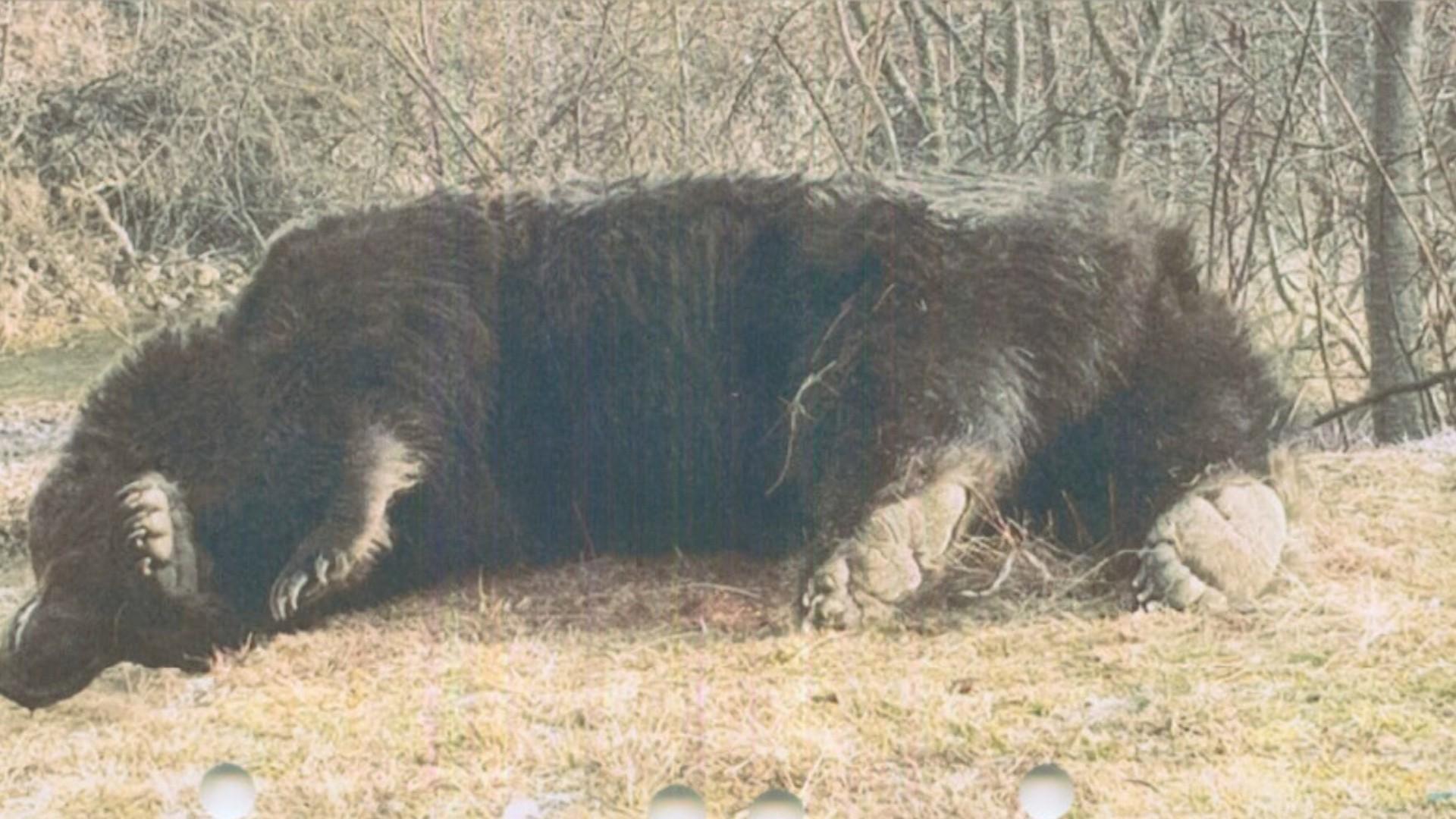"""Garda de Mediu a demarat o anchetă după moartea ursului Arthur. Şeful instituţiei: """"Vrem să stopăm orice incident similar în viitor, care ne face de ruşine"""""""