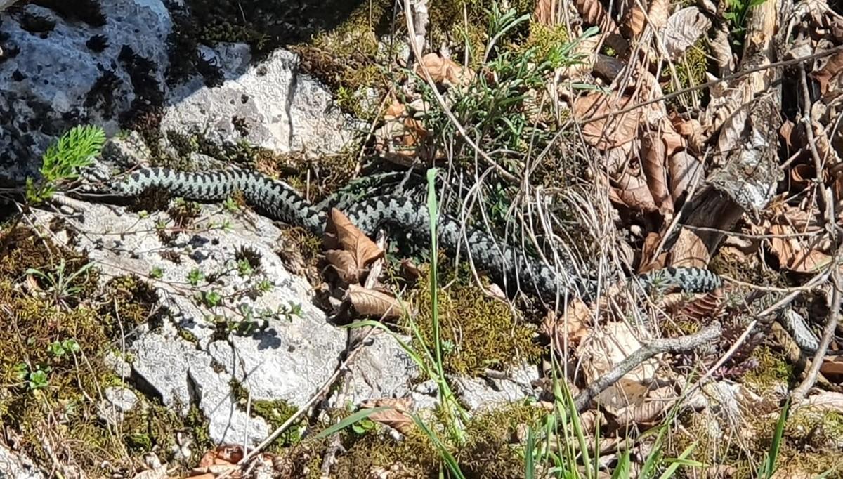 Alertă din cauza viperelor. Salvamontiştii din Argeş avertizează că numărul şerpiloreste mai mare decât în alţi ani