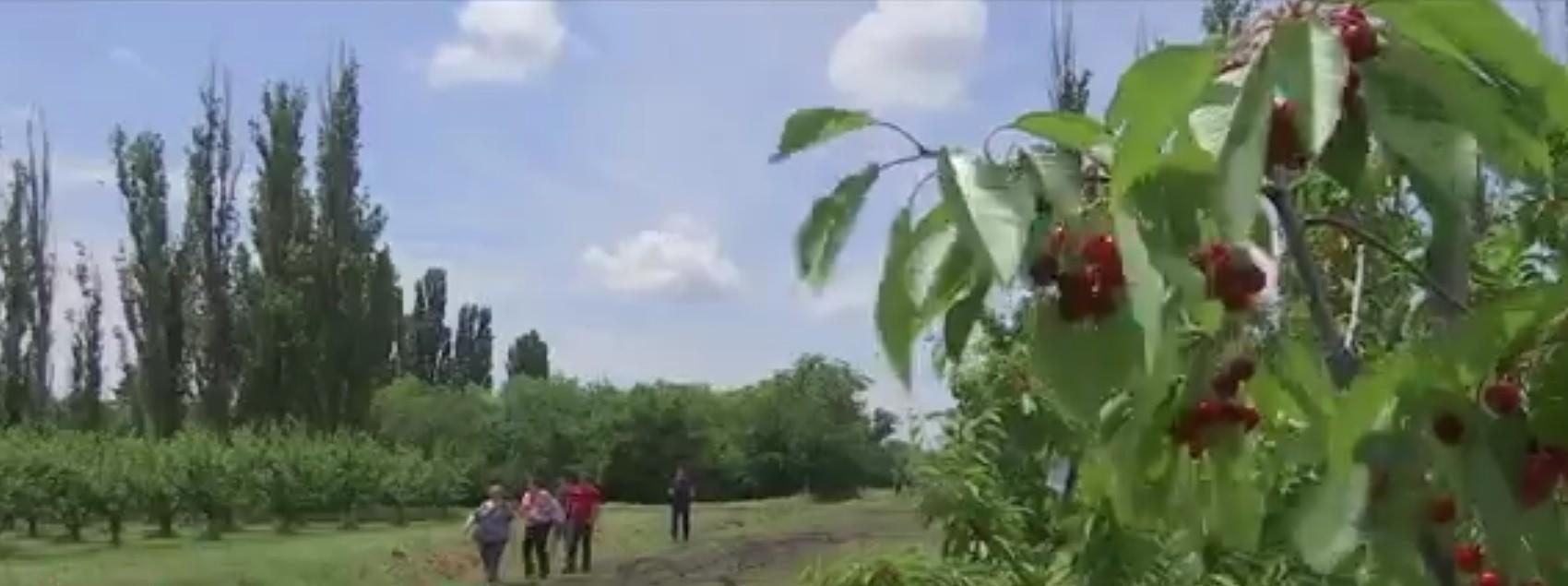 Concurs inedit la Sărbătoarea Cireşelor de la Istriţa. Staţiunea produce fructe de peste 120 de ani, iar cireşele ajung în toate colţurile lumii