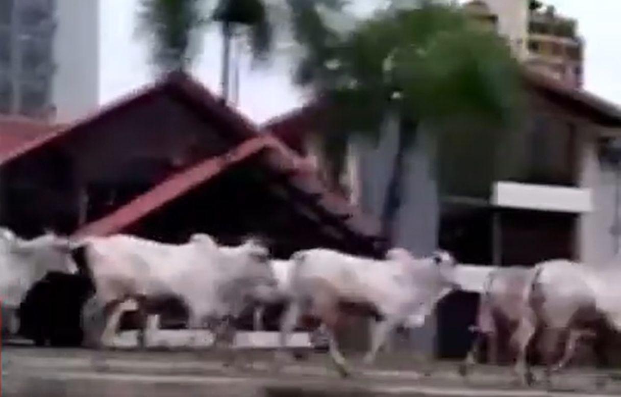 La un pas de tragedie: Camion plin cu bovine s-a răsturnat în Bolivia