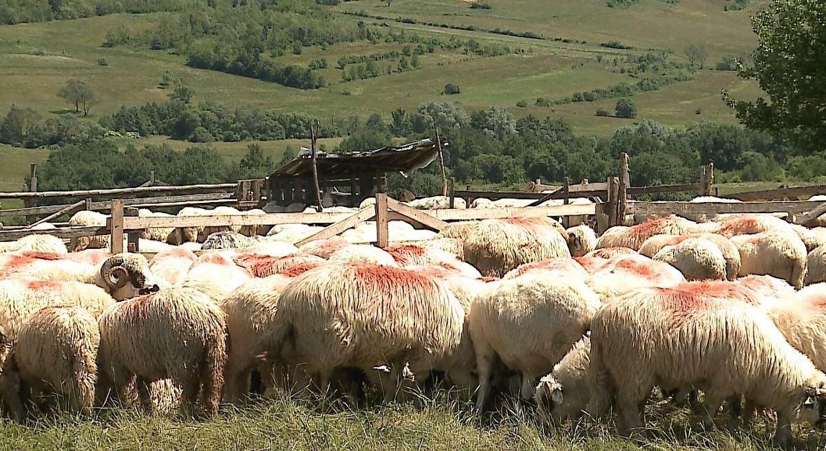 """Oile şi holdele, binecuvântate în a doua zi de Rusalii. Preot: """"Ne rugăm să fie păzite de fulgere, de prădători"""""""