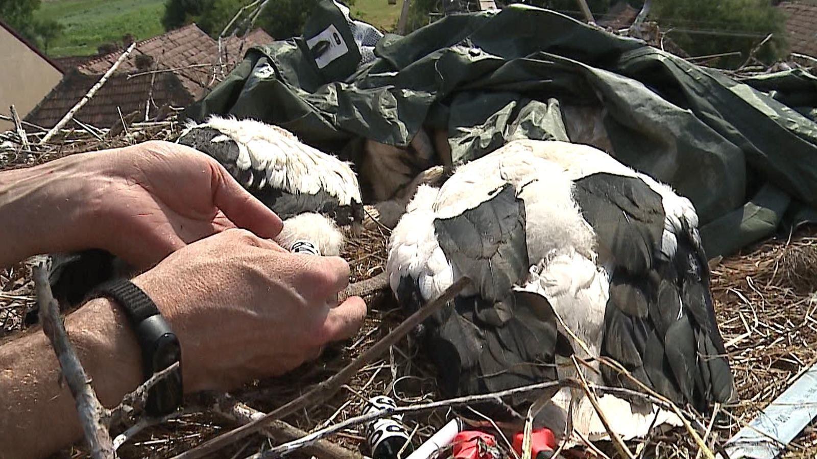 """Imagini de la """"recensământul"""" berzelor, în Mureş. Fiecare pasăre primeşte câte două inele"""