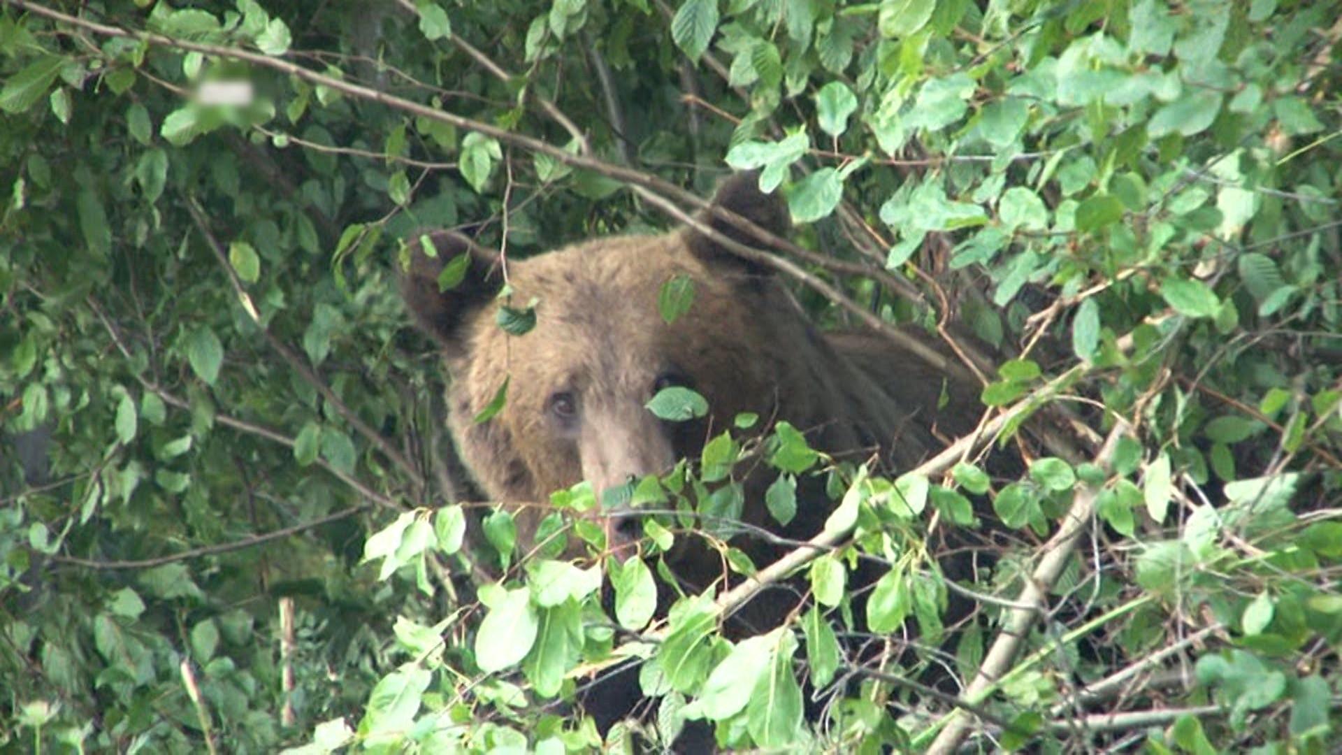 Statul trebuie să plătească 15.000 de euro unui român atacat de urs. Premiera a fost anunțată de Ministrul Mediului