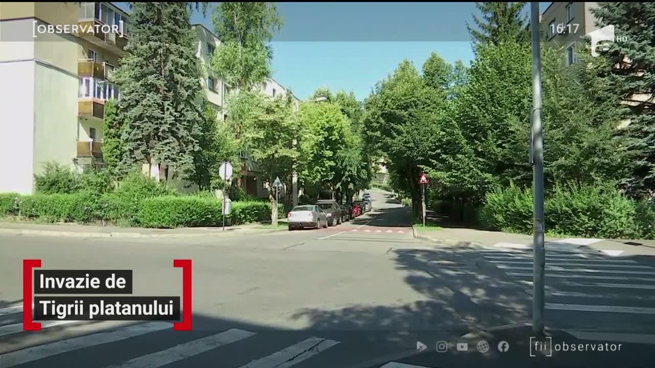 O specie agresivă de insecte a invadat Clujul și îi terorizează pe localnici. Nu pot fi ucise cu substanțe chimice și nu au dușmani naturali