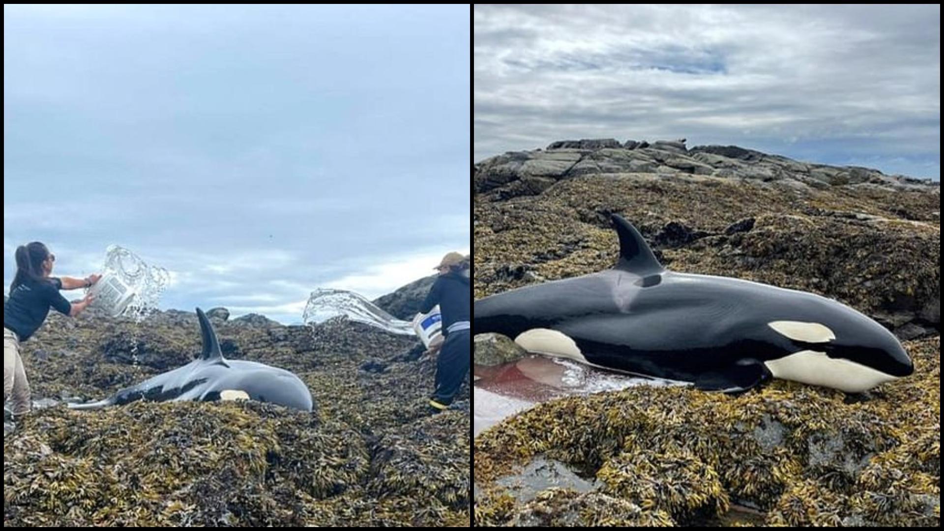 """""""Îi curgeau lacrimi din ochi"""" Balenă ucigașă ținută în viață cu găleți de apă, după ce a eșuat pe o plajă din Alaska"""