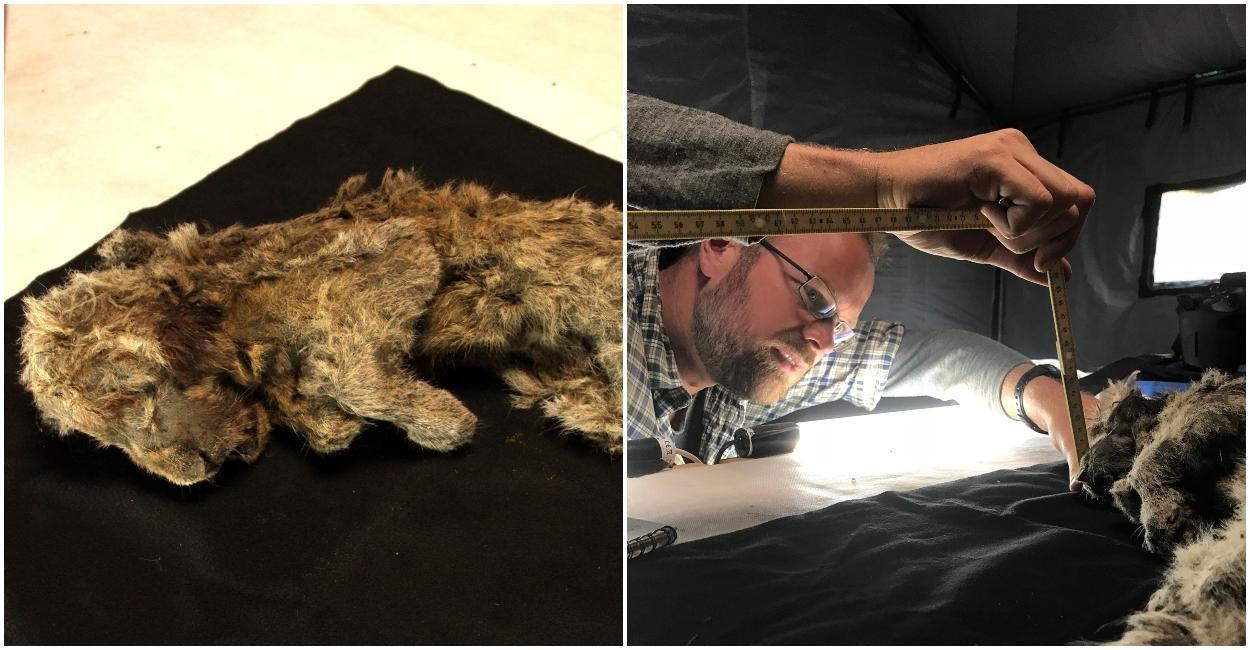 Puiul de leu de peșteră perfect conservat, găsit înghețat în Siberia, are o vechime de 28.000 de ani. Chiar și mustățile îi sunt intacte