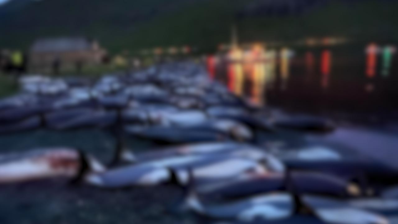"""""""Fără cuvinte, doar lacrimi"""". Imagini cutremurătoare cu 1500 de delfini, măcelăriţi sub ochii copiilor din Insulele Feroe. Tradiţia sângeroasă, condamnată de activiştii de mediu"""