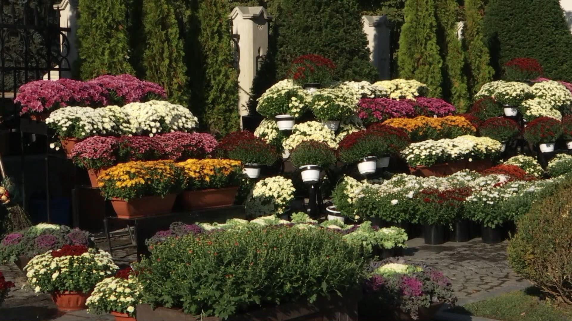 Iaşul se pregăteşte de hramul Sfintei Parascheva. 25.000 de crizanteme vor colora oraşul