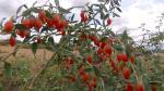 O familie din Dolj a înlocuit culturile de legume şi cereale pentru a produce goji. Ce beneficii pentru organism are fructul magic