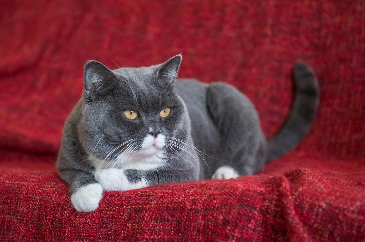 pisică din rasa British Shorthair