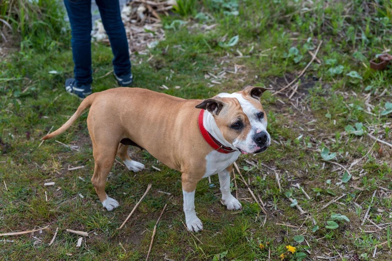Câine Amstaff ținut în lesă, în parc