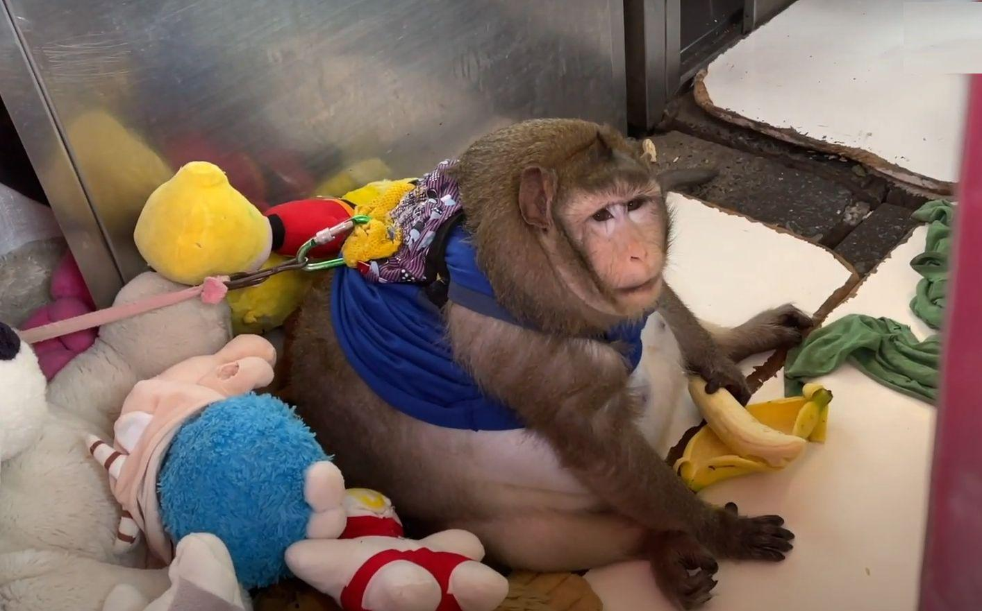 Godzilla, maimuța obeză din Thailanda cântărește peste 20 de kilograme