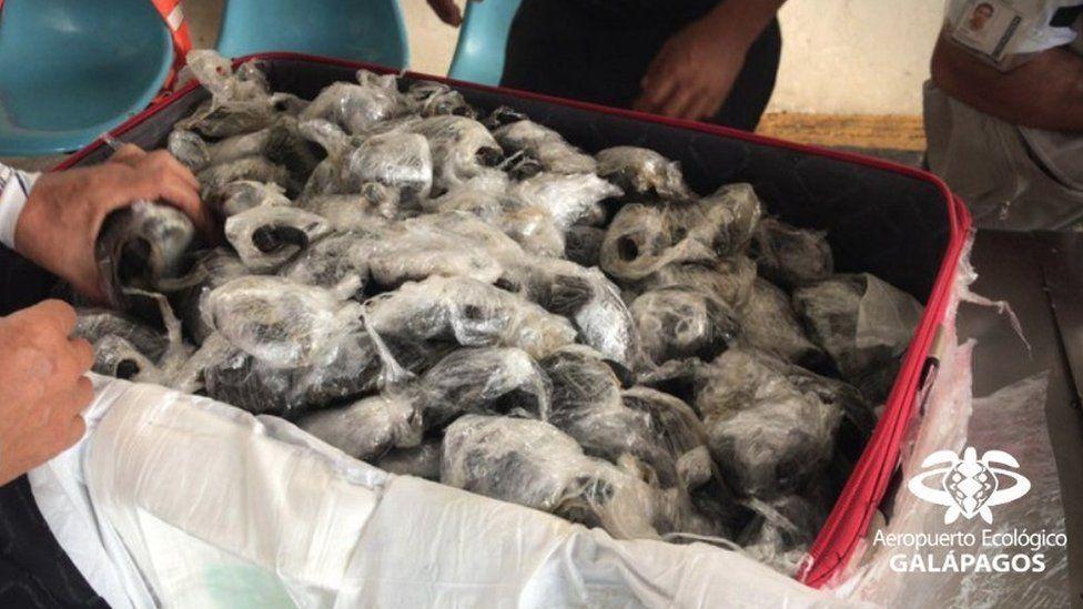 Unele țestoase erau înfășurate în saci de plastic