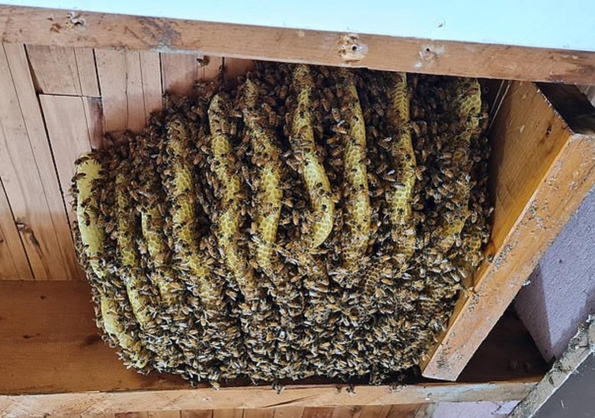 Un stup de albine a fost scos din tavanul unei case