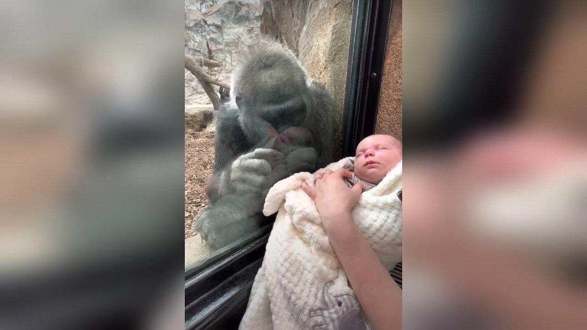 Reacţia emoţionantă aunei gorile când vede un bebeluş prin geamul despărţitor,la o grădină zoologică din SUA